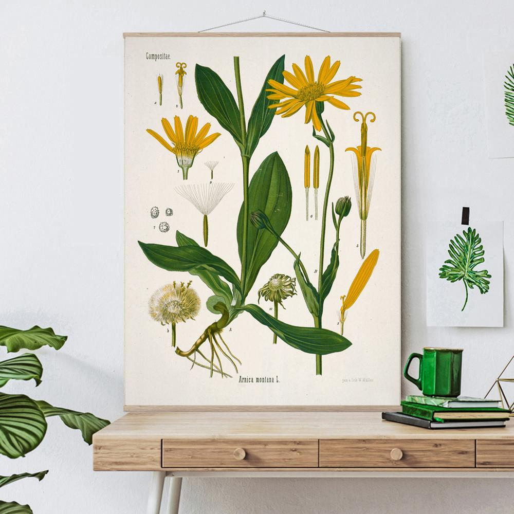 Vintage Botanical Mountain arnica Art Print