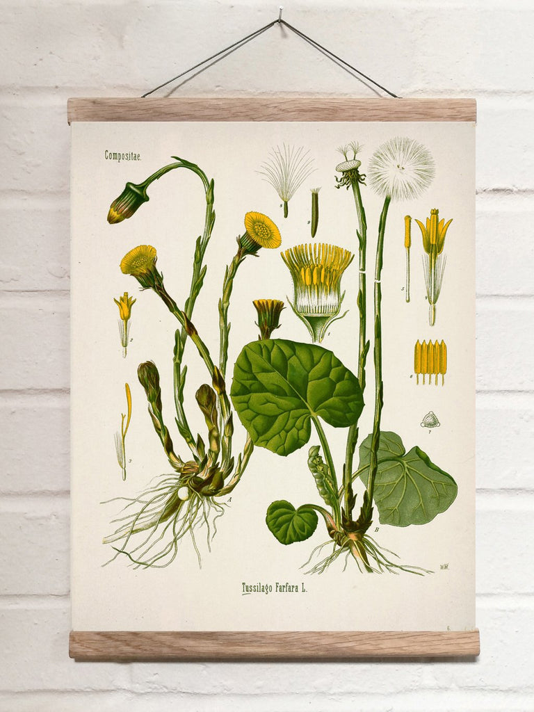 Vintage Botanical Coltsfoot Art Print
