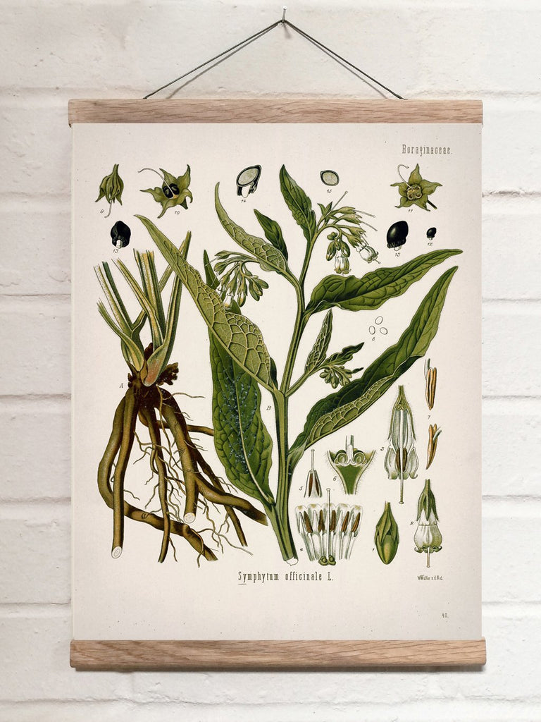 Vintage Botanical Common comfrey Art Print