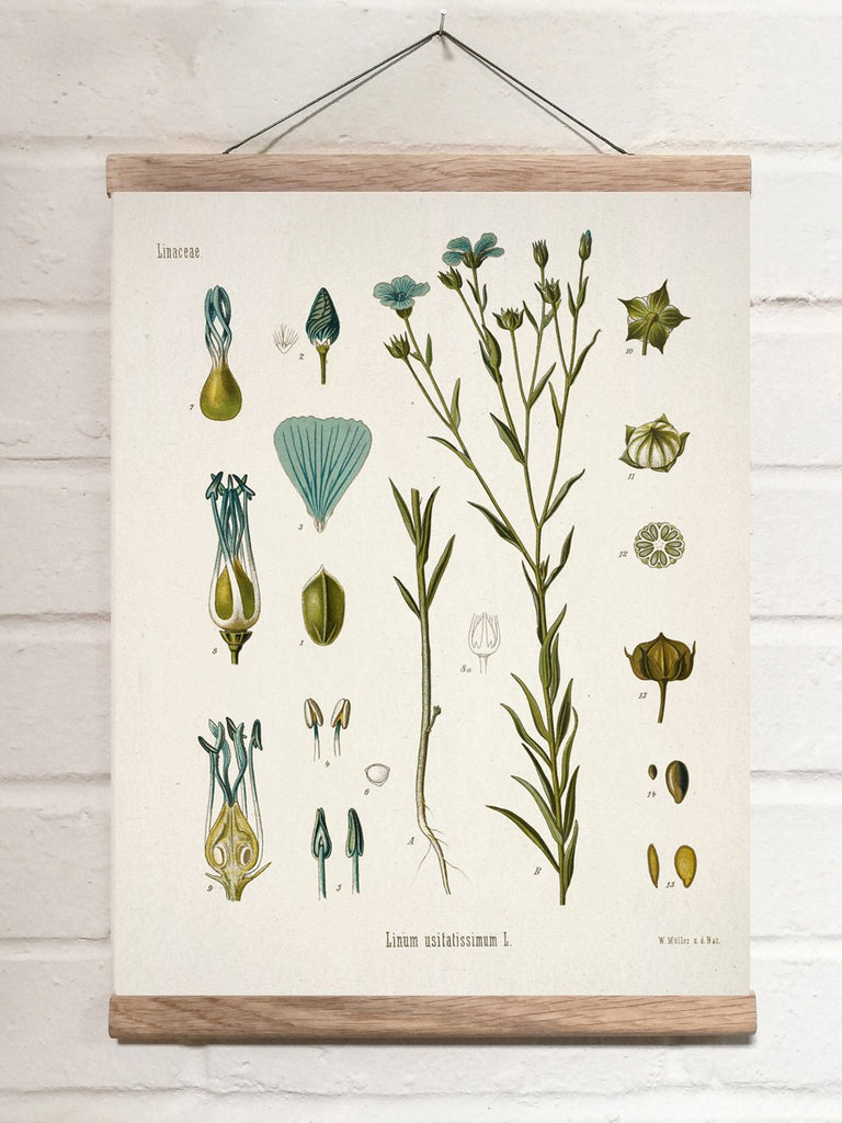 Vintage Botanical Common flax Art Print