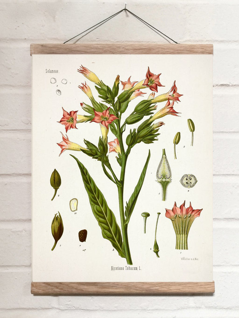 Vintage Botanical Cultivated tobacco Art Print