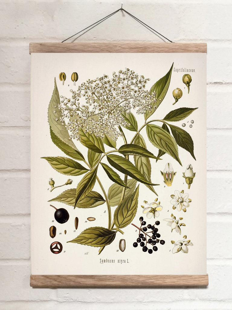 Vintage Botanical European black elderberry Art Print