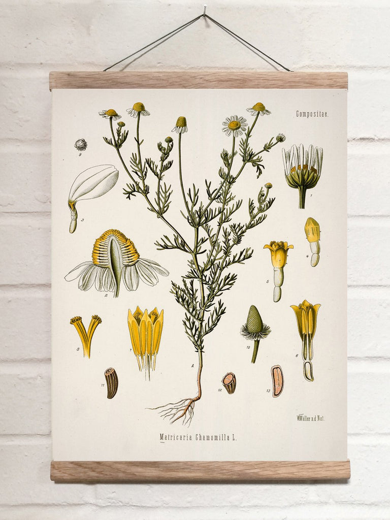Vintage Botanical German chamomile Art Print