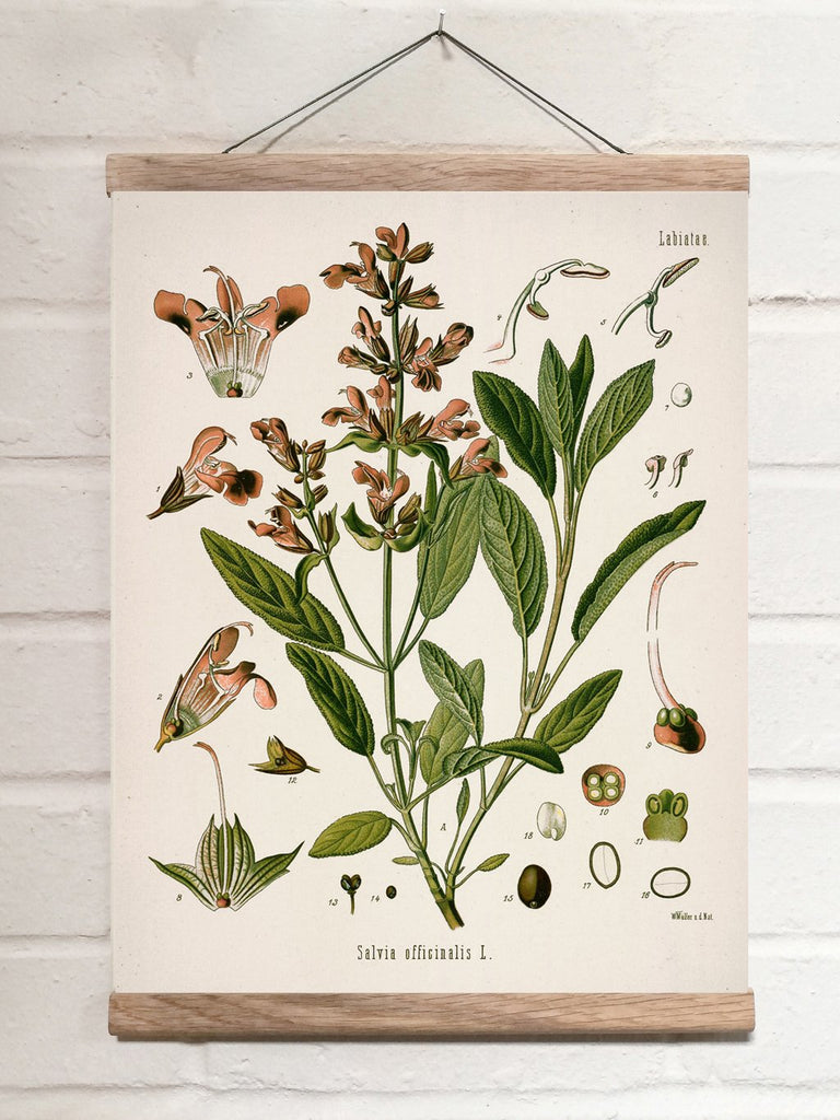 Vintage Botanical Kitchen sage Art Print