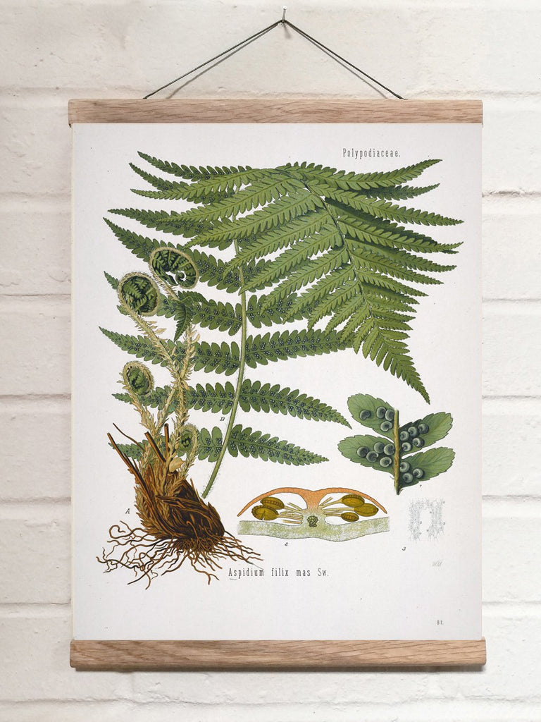 Vintage Botanical Male fern Art Print