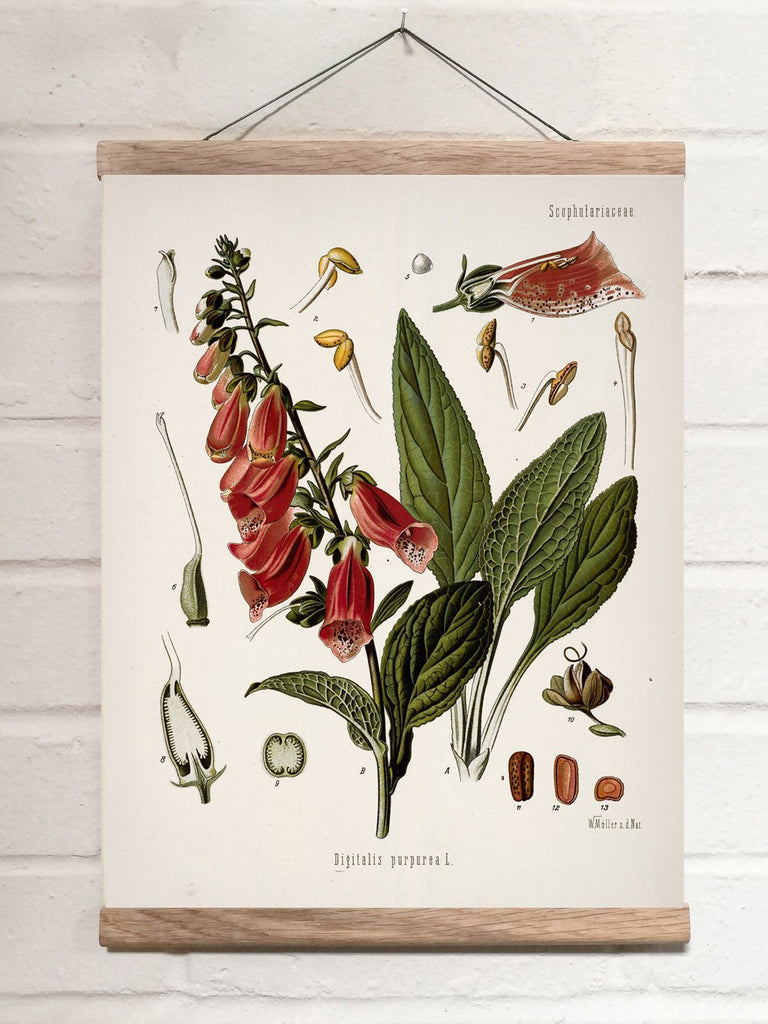 Vintage Botanical Purple foxglove Art Print