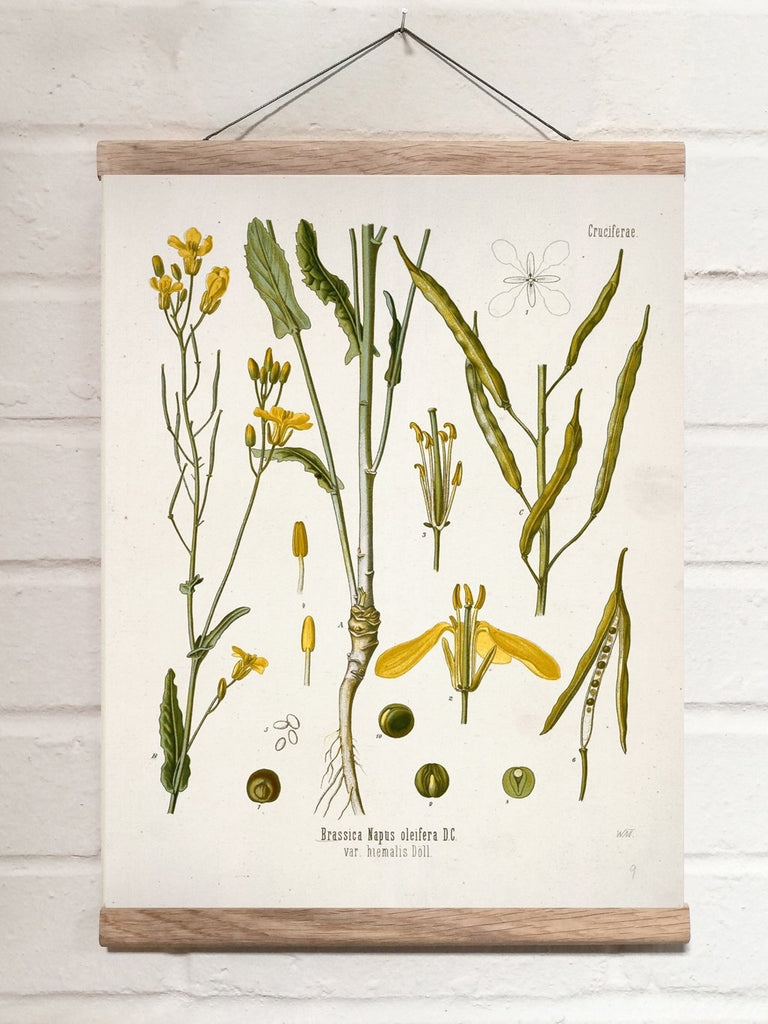 Vintage Botanical Rape Art Print