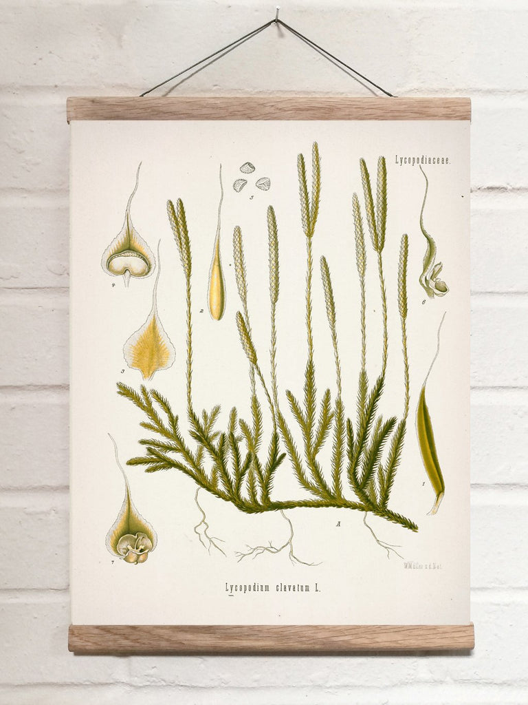 Vintage Botanical Running clubmoss Art Print