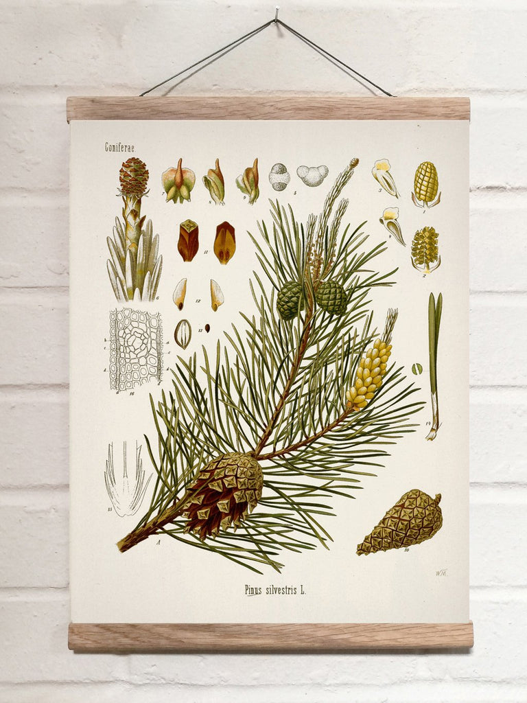Vintage Botanical Scotch pine Art Print