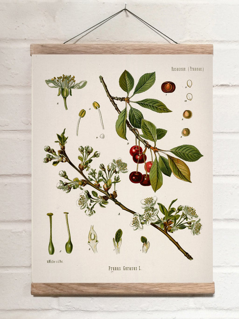 Vintage Botanical Sour cherry Art Print