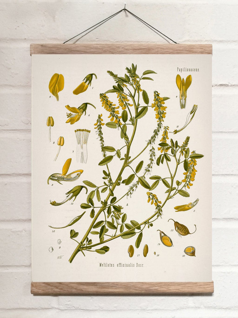 Vintage Botanical Yellow sweetclover Art Print