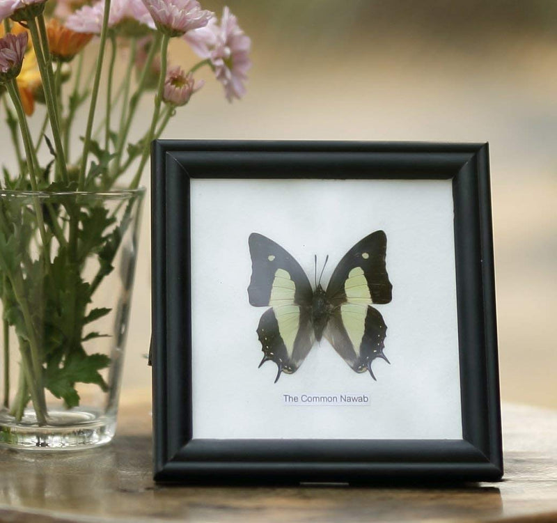 The-Common-Nawb-Butterfly-(Polyura-athamas)-|-Framed-Beautiful-Butterf