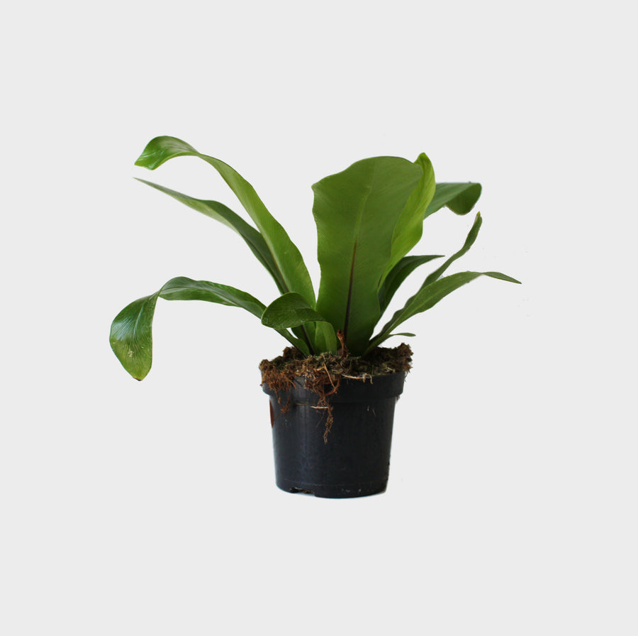 Birds Nest Fern - Small