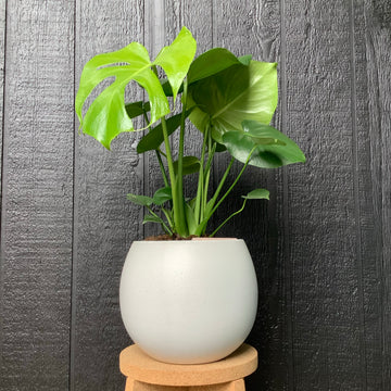 Medium bower bowl with Monstera