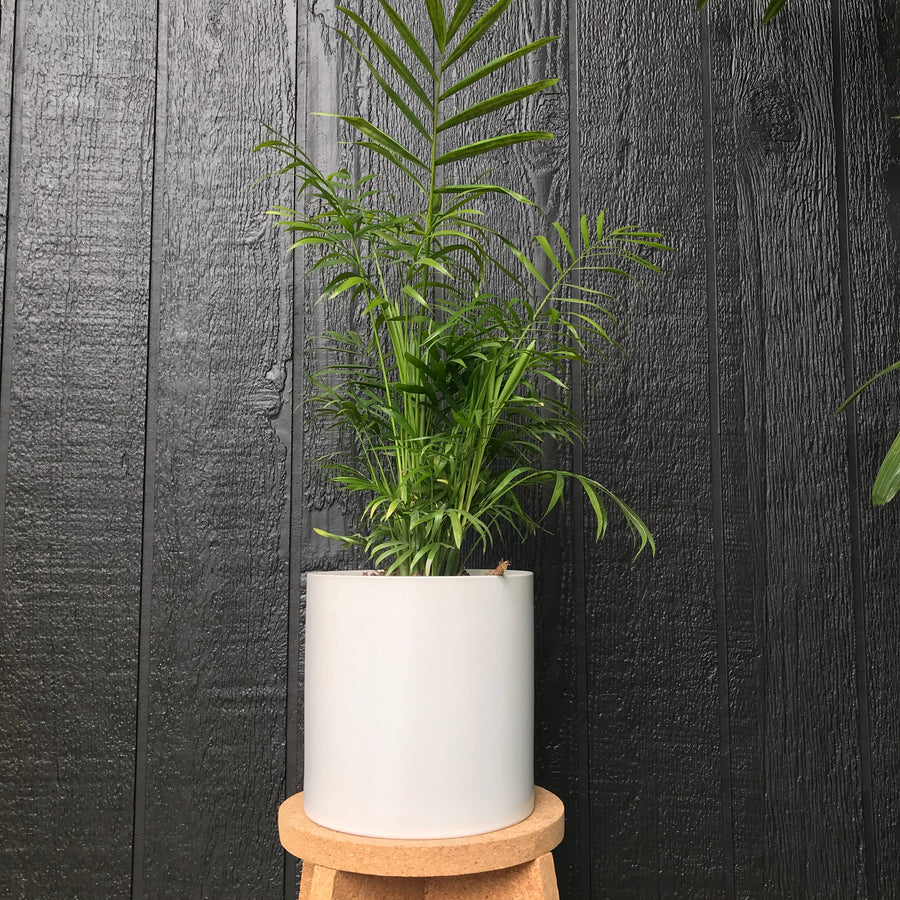 White Pot with Elegans Palm