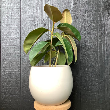Large Bower Bowl With Rubber Plant