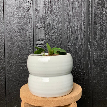 Chinese Money Plant In Luna Pot Small Soft White