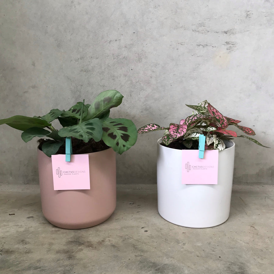 Prayer Plant and Pot