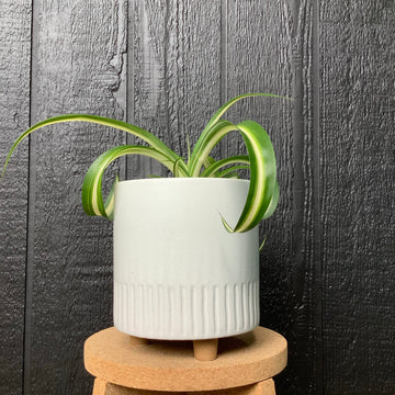 Birch Pot Medium Chalk with Spider Plant