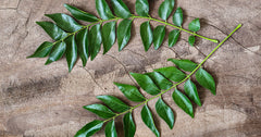 Curry Leaf Tree, 6 inches