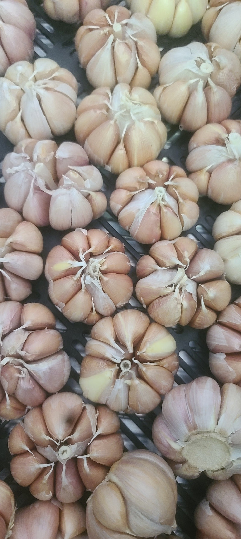 Desert Sunset Heirloom Garlic- 2ct