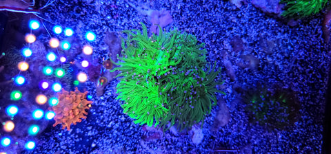 NEON Cotton Candy Indo Torch COLONY -- #7