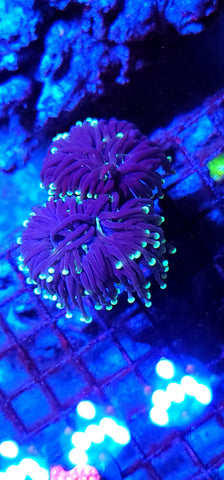 SnakeSkin Torch - 2 polyps -- Yellow Tip and Center Stripes!