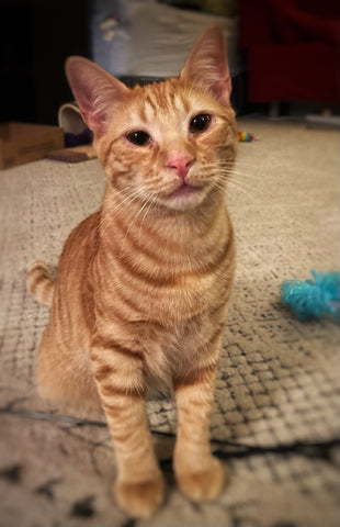 A young orange cat sits up on a rug in a living room