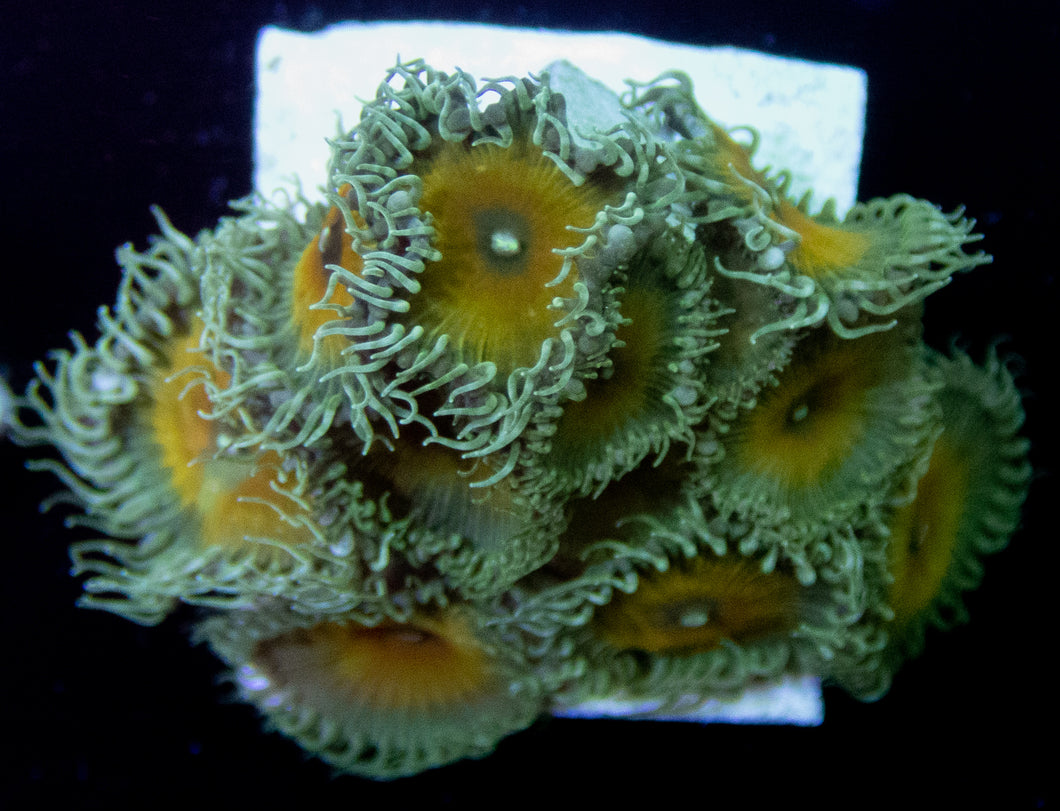 JF Nuclear Death Paly - freakincorals.com