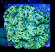 Load image into Gallery viewer, FK Green Frog Acanthastrea