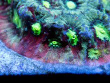 Load image into Gallery viewer, FK Slime Pentagona Favites Frag (FK Signature Coral) - freakincorals.com