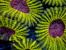 Load image into Gallery viewer, WWC Mayan Sun Favia (Signature Coral)