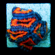 Load image into Gallery viewer, FK Ultra Rainbow Fuego Lordhowensis Acanthastrea