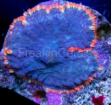 Load image into Gallery viewer, FK Rainbow Skirt Fuzzy Rhodactis (Signature Coral)