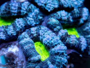 FK Green Eye Acanthastrea