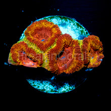 Load image into Gallery viewer, FK Iron Man Acanthastrea (Signature Coral)