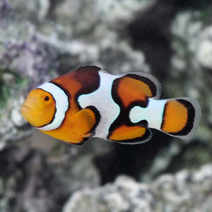 Amphiprion percula - Picasso