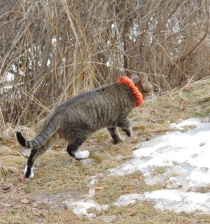 Cat wears Birdsbesafe cat collar cover to protect birds from pet cats that hunt