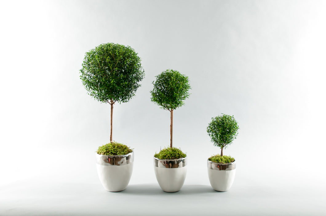 Myrtle Topiaries *(Not sold as a Set, Sold Individually)