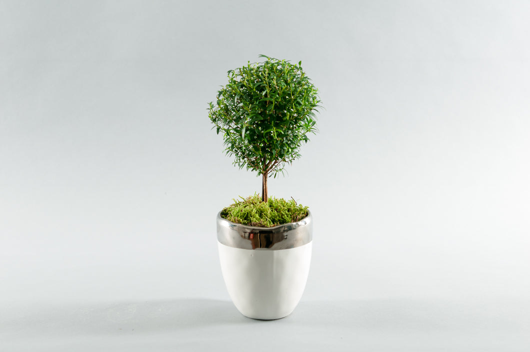 Small Myrtle Topiary