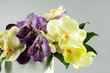Load image into Gallery viewer, Modern Times Regal Vanda