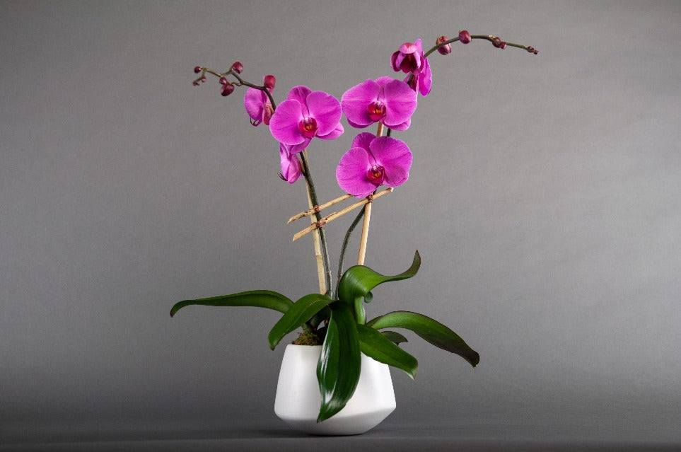 Double Orchid
