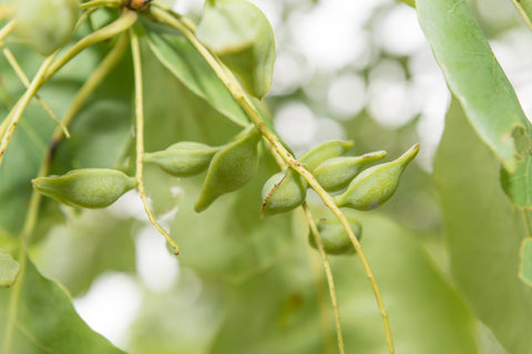 skin benefits of kakadu plum