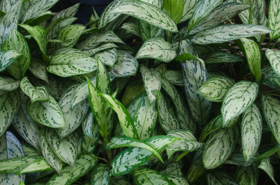 How to Care for the Aglaonema