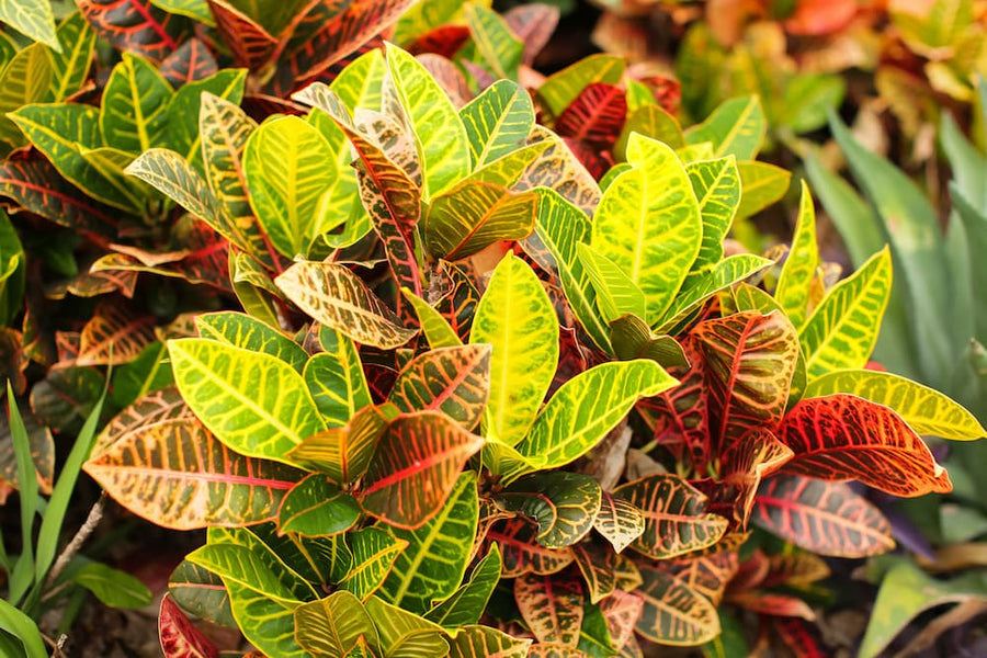 Caring for Crotons