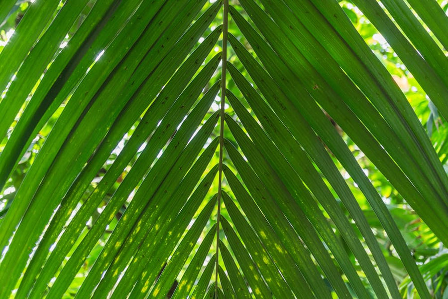 Caring for Kentia Palms