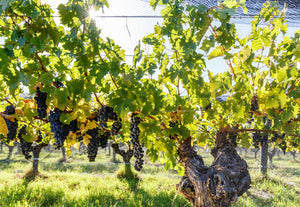 Organic Cabernet Sauvignon Gralyn Estate Margaret River