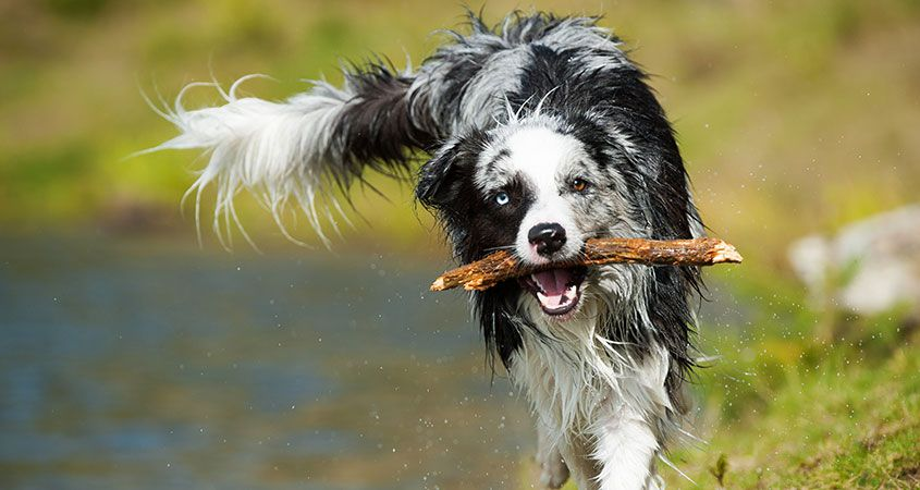 How to Teach Your Dog to Fetch | Professional Dog Training Tips