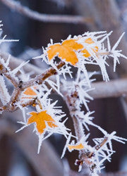 Frosty Spike Maple