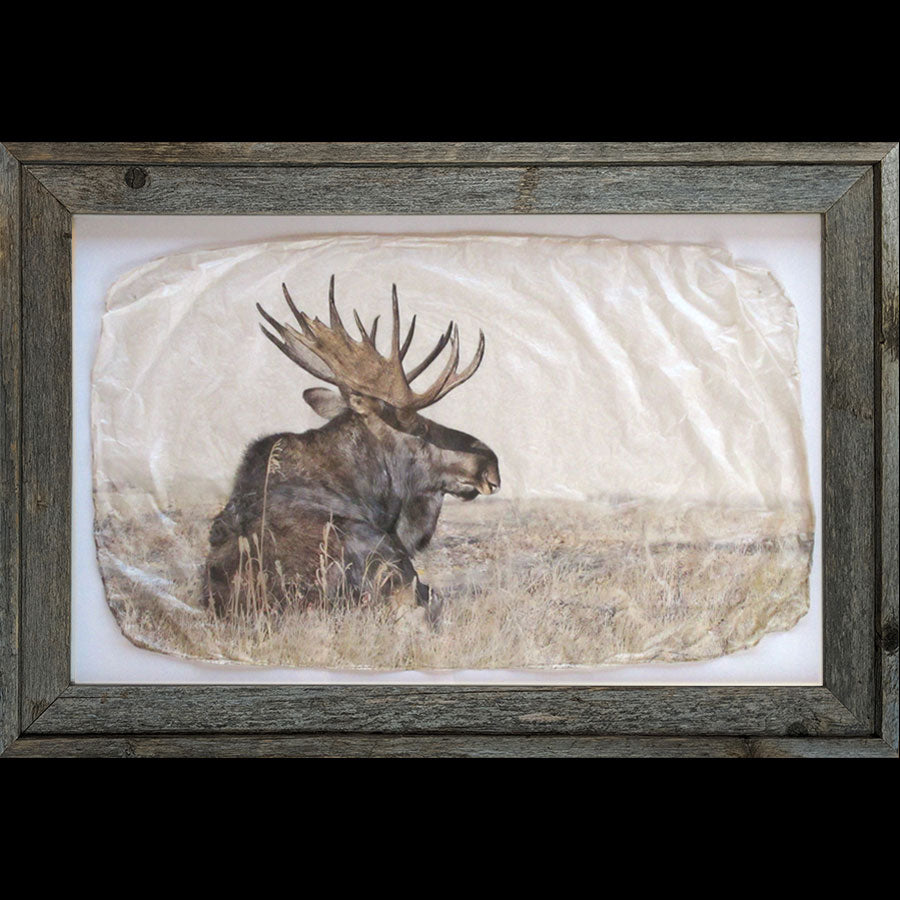 Lotta bull sitting moose wildlife photo gampi print by artist Pete Zaluzec in barnwood frame
